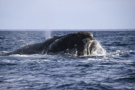 humpback whale: humpback whale swiming and showing head Stock Photo
