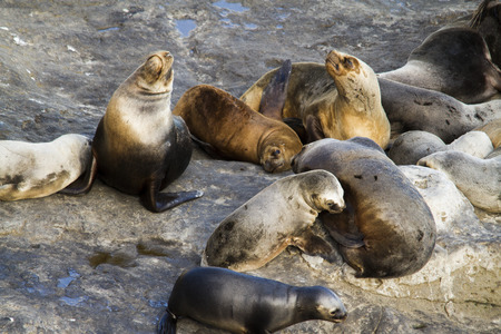 pinniped: Colony of sea-lion in peninsula valdes in Patagonia Argentina.