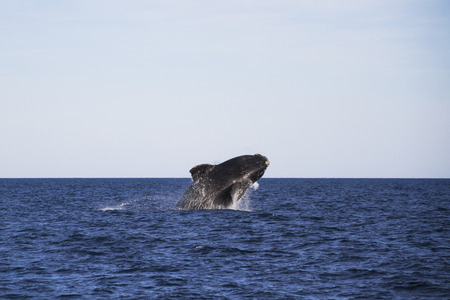 baleen whale: Uno behavoir com�n de ballena es saltar fuera del agua.