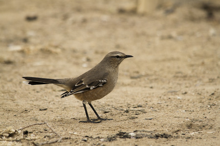 patagonian: Patagonian mockingbird on sand and searching worms Stock Photo