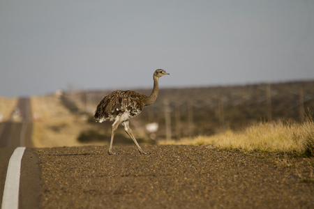 rhea: Small Lesser rhea to the side of road in patagonia. Stock Photo