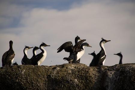 cormorants: Imperial Cormorants on the rock in new gulf.