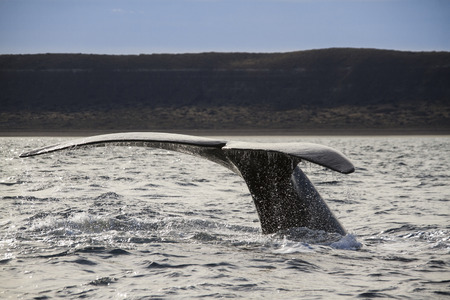 humpback whale: humpback whale tail in patagonia Stock Photo