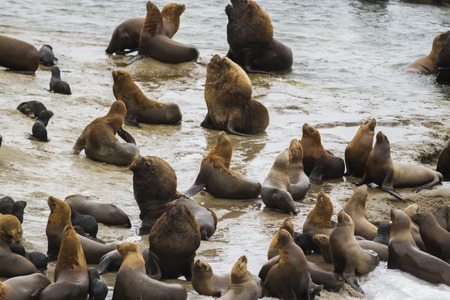 youngs: Sea lions harens, youngs, males, and females in colony Stock Photo