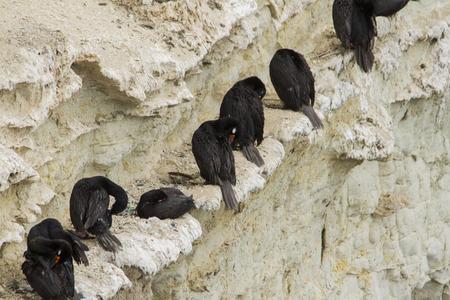 cormorant: Black neck cormorant in clift