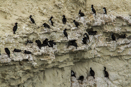 phalacrocoracidae: Black neck cormorant in clift