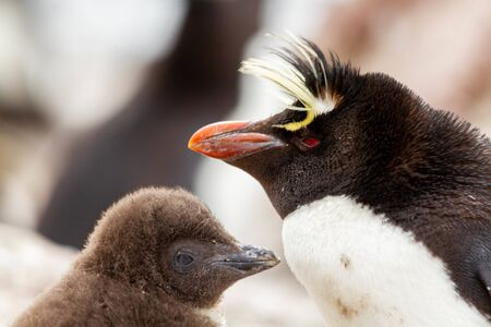 Close-up of Rockhopper Penguin. The only colony in South America of this species of penguin is that of the Pinguino Island in Patagonia.