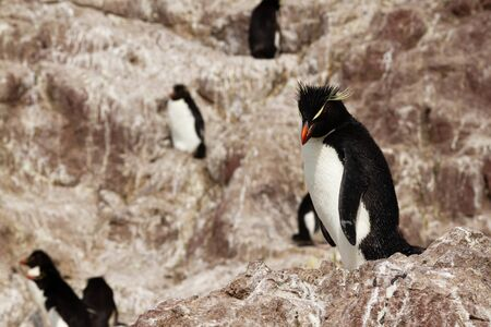 Rockhopper penguin colony. The only colony in South America of this species of penguin is that of the Pinguino Island in Patagonia.