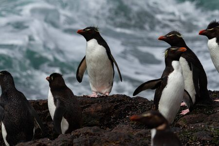 Rockhopper penguin returning from the sea. The colony is the only population of these penguins in South America