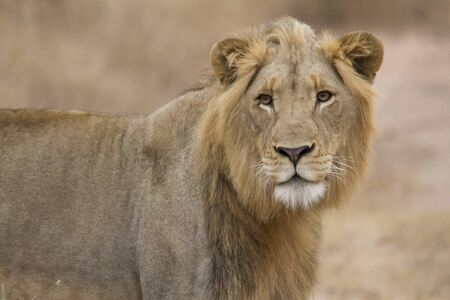 Young lion with poorly developed mane walking through the African savannah. Stock fotó