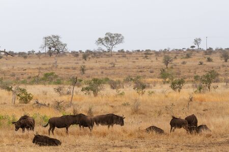 Herd of wildebeest wandering the savannah in the Kruger National Park in South Africa.