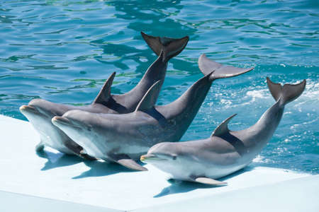 Bottlenose dolphins in an aquarium waving after doing the show. Joy concept. Imagens