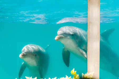 Two bottlenose dolphins in an aquarium pool seen through the glass Marine mammals are looking out of the pool