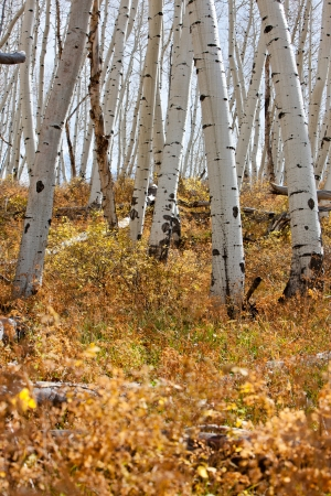 White Aspen Tree Trunks In Fall photo