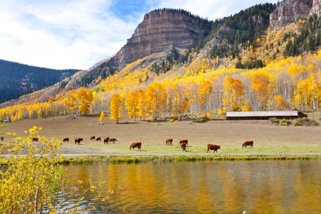 aspen leaf: Cattle Grazing High In The Mountains