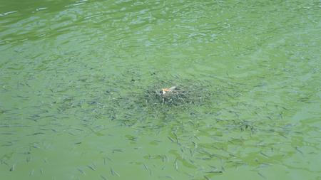 Swarm of fish Garra Rufa in river