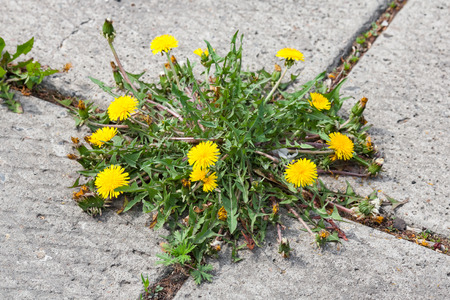 Yellow Dandelion, taraxacum officinale, growing on pavement