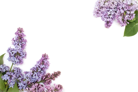 blooming purple: Blooming purple lilac branch, isolated on white background