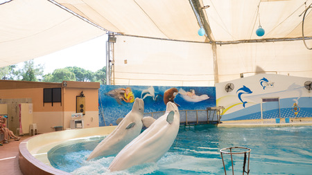 troy: BELEK, TURKEY - OCTOBER 04, 2014: Dolphins show, Troy Dolphinarium. Two beluga whales performing a tail stand Editorial