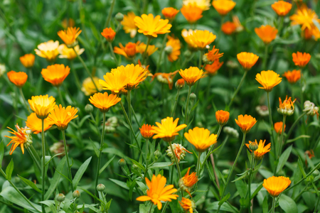 growing flowers: Bright summer background with growing flowers calendula, marigold