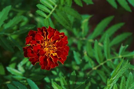 tagetes: Single big marigold flower, Tagetes erecta, in garden, top view Stock Photo