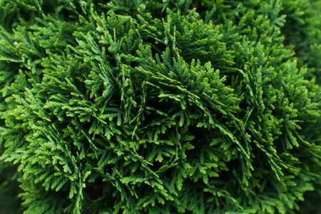 globosa: Bush of evergreen thuja globosa, background, close up