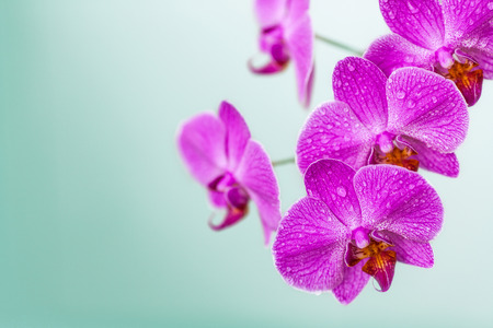 orchid branch: Blooming violet orchid branch, flowers on blurred background Stock Photo