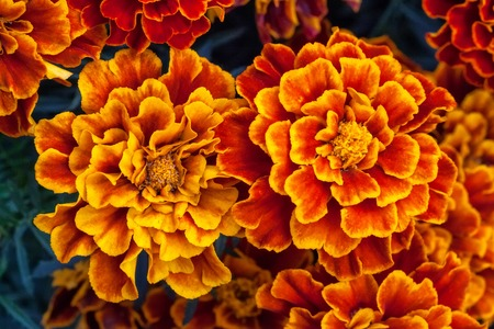 Big yellow marigold flowers in garden, Tagetes erecta, top view Stock Photo
