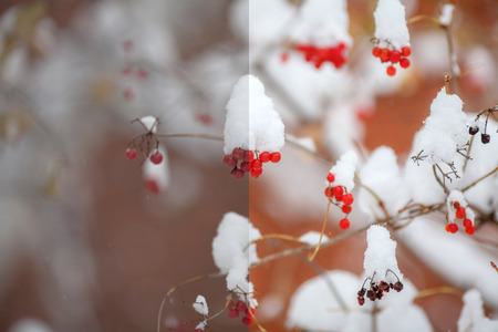 Photo before and after the image editing process. Red berries covered with snow, winter scene Stock Photo