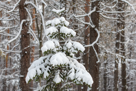 deep freeze: Spruce tree covered with snow, winter forest tranquil scene, natural background Stock Photo
