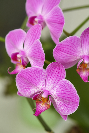 Blooming purple orchid on green background, closeup