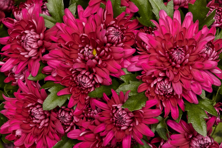 Many pink chrysanthemum flowers closeup, floral background Stock Photo