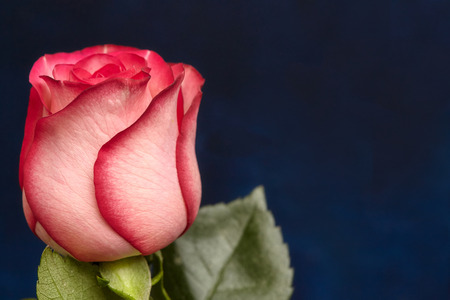 One beautiful pink rose on blue background with copyspace Stock Photo