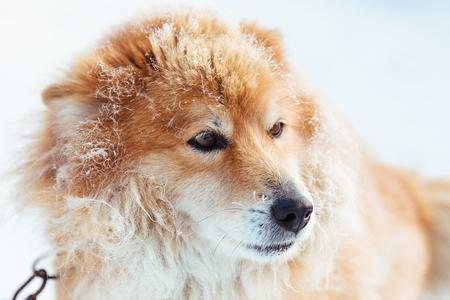 Portrait of fluffy red chained dog outdoors in winter on snow looking Standard-Bild - 115768218