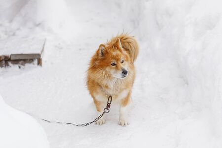Portrait of fluffy red chained dog outdoors in winter on snow looking