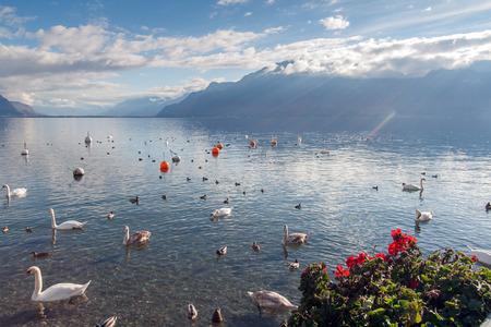 vevey: Swans swimming in Lake Geneva, town of Vevey, Switzerland Stock Photo