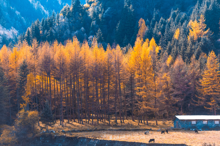 Autumn scenery and house at Tibet.