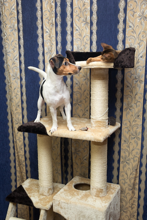 agouti: cat and dog playing on the top of Cat Tree