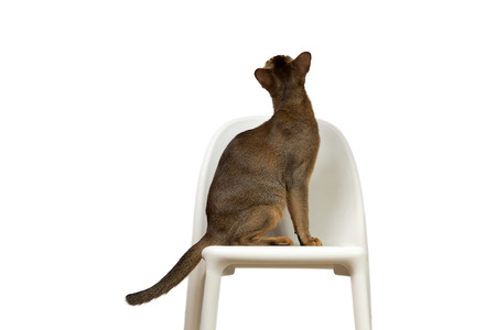 sits on a chair: Abyssinian cat sits on a chair with his back isolated on white background