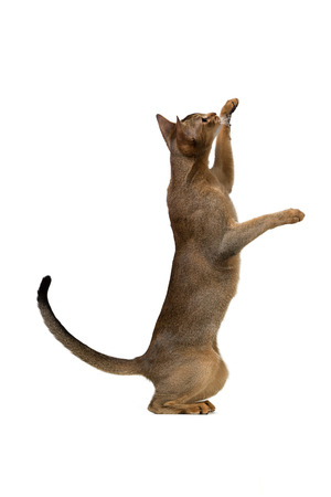 abyssinian cat: Abyssinian cat plays standing on its hind legs isolated on white background