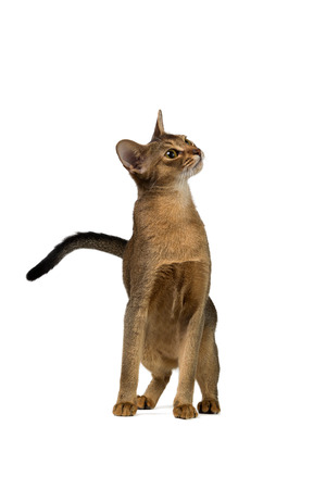 abyssinian cat: Abyssinian cat half-sitting with a curious snout isolated on white background