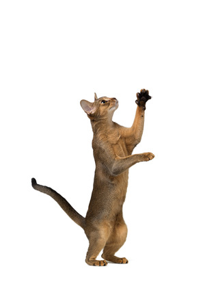 agouti: Abyssinian cat plays standing on its hind legs isolated on white background