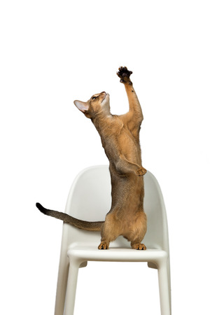 agouti: Abyssinian cat plays standing on its hind legs on a chair isolated on white background Stock Photo