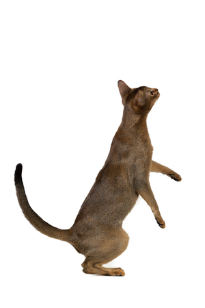 abyssinian cat: Abyssinian cat standing on its hind legs isolated on white background