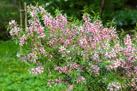 garth: pink flowering shrub in the young naturalists station Stock Photo