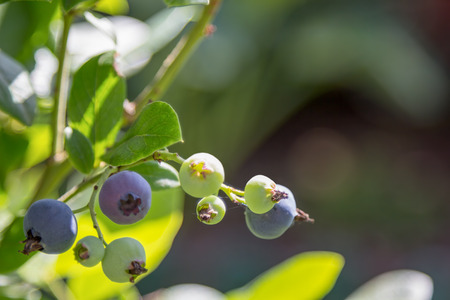 garth: ripe and unripe blueberries on the branch Stock Photo