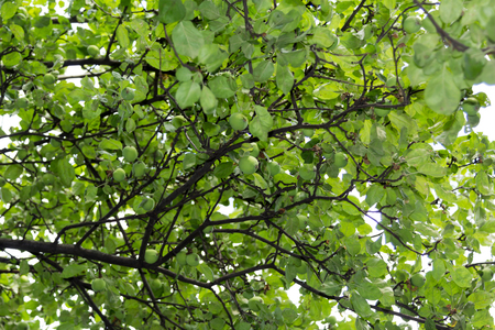 garth: apple tree branches with small green fruit