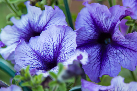 floristics: blue flowers in the foliage close up