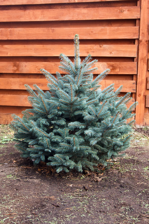 spruce: little young fluffy blue spruce on a background of wooden fence Stock Photo