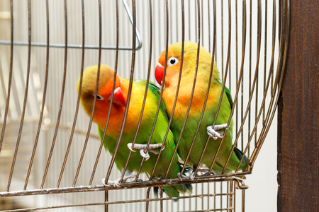 cling: pair of budgies cling to the bars Stock Photo